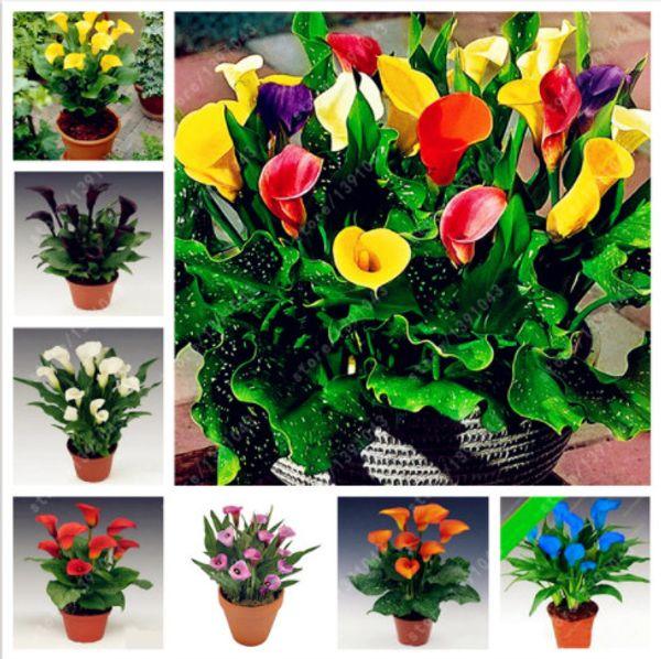 200 Pcs Calla Lily Seeds (Not Calla Lily Bulbs) Room Flowers Rhizome Zantedeschia Aethiopica, Bonsai Houseplants Home Garden Pot Plant