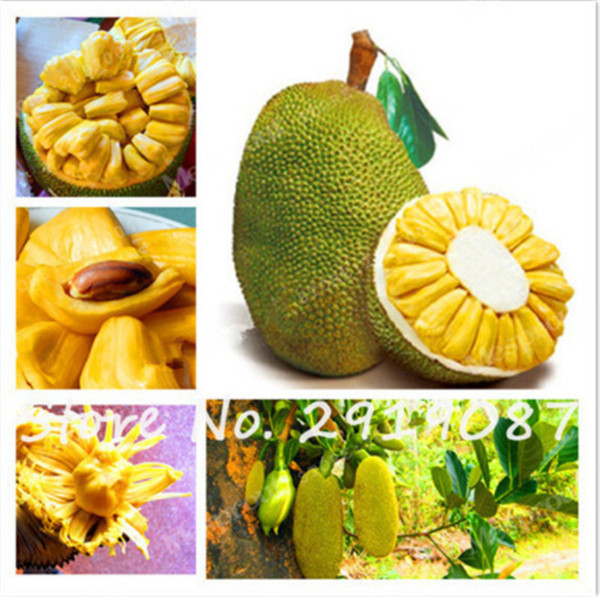 20 Pz / borsa Fresh Jackfruit Seeds Alberi da frutto Tropical Rare Giant Tree Seeds Rare Miracle Fruit Garden Seeds Nuovo Big Flower Plants So Healthy
