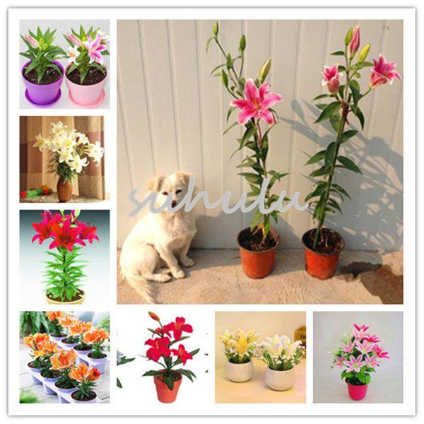 100 pcs / sac parfum multicolore Lily Seeds, (pas les bulbes de lys) mélanger les graines de bonsaï plante de haute qualité pour le jardin de la maison