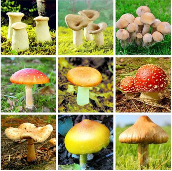 100 pcs/bag Mushroom Seeds Organic Funny Succlent Plant Amazing Edible Health Seeds Vegetable For Happy Farm Free Shipping