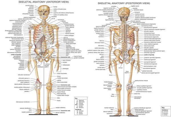 Анатомический скелет-скелетной системы человеческого тела медицинского домашне