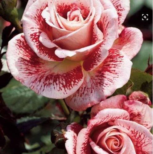 Hızlı Kargo Nadir Güzel Çok Yıllık Pembe Gül Çiçek Tohumları * Paket Başına 100 Parça Tohumları * Yeni Varış Renkler Büyüleyici Bahçe Bitkileri