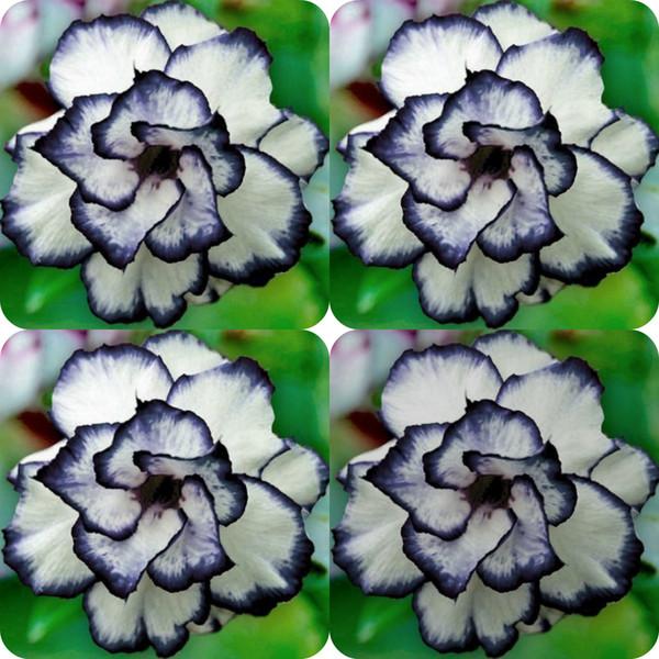 100 Stücke Seltene Schwarz Weiß Desert Rose Samen Adenium Obesum Blume Mehrjährige exotische Pflanzen Blumensamen Blüte Balkon Garten Hof
