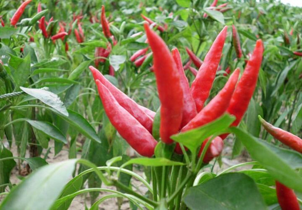 red hot chili peppers Seeds, home fruit and vegetable seeds 200 particles/bag