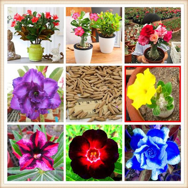 Venta caliente Bonsai Adenium Obesum Semillas Balcón Semillas de flores 2 piezas Rainbow Desert Rose Semillas para el jardín de su casa Fácil de cultivar