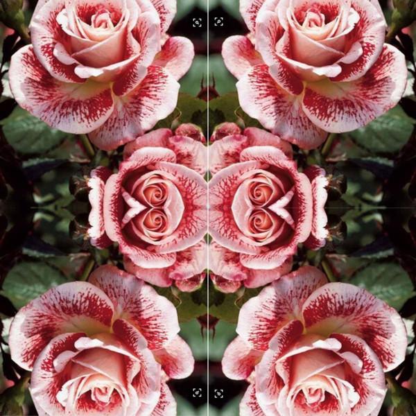 Staude Rosa 100 stücke Rose Blumen Samen Pflanze Kostenloser Versand Hausgarten Pflanzen Exotische Adenium Obesum Balkon Gartensamen