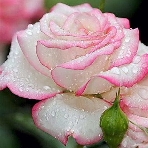 Bienal anual Rosa blanca rosa Semillas de rosas * 100 piezas Semillas por paquete * Recién llegado Dos colores semillas de año Semillas de flores Plantas de jardín