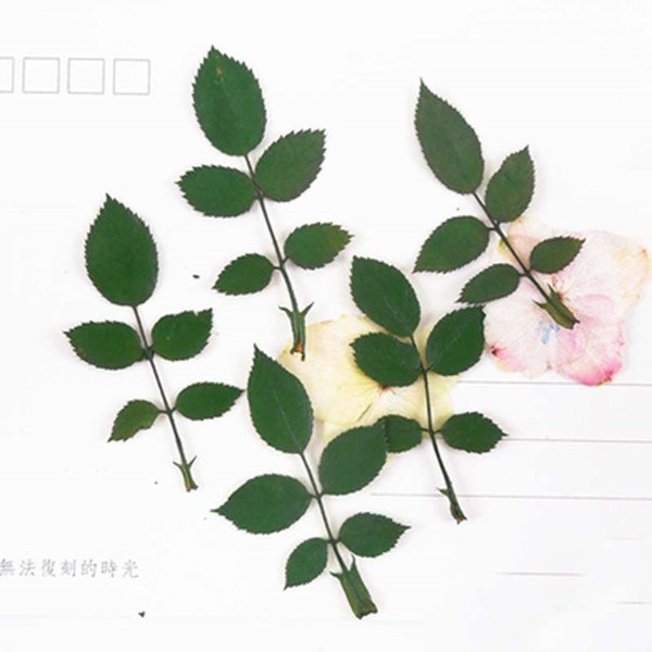 2019 Dye Green Rose Leaf Dry Natural True Press Technic, Pressed Flower Painting Material For Christmas Card Decoration 120Pcs