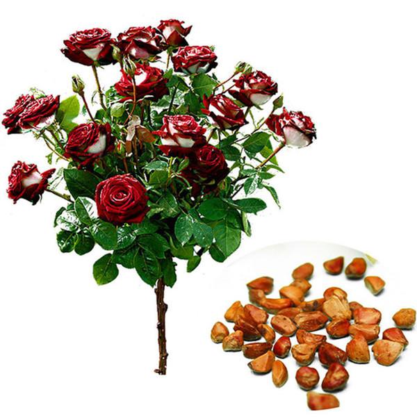 50 Sementes, Heirloom Rose Tree Bonsai Rose Sementes de Flores, Planta Perene Pote Para Casa Jardim Decoração