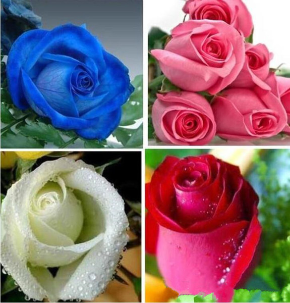 Colorful Rainbow Mix Color Easy-growing Perennial Flower Seeds Bonsai bloom From Rose Seeds 100 Pieces Potted flower DIY Home Plant/Garden