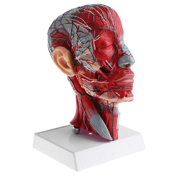 best selling Sagittal Plane 1:1 Human Head Skeleton with Neck Vessel Nerve Arteries Veins Model Lab Supplies Science Toy