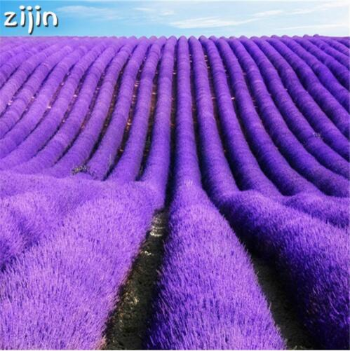 100pcs Italian lavender seeds flower Heirloom Charming Fragrant flower potted plant Fast Growing outdoor garden seeds decoration