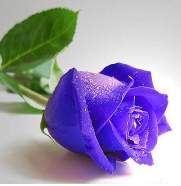 2019 Vente chaude Graines Pourpre Rosa Genus Fleur Plante DIY Maison Jardin Plant Pas Cher Jardin Rose Graines