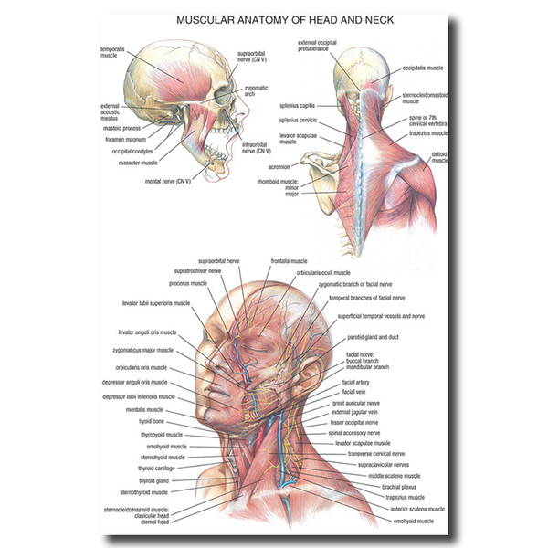 Human Anatomy Head And Neck Wall Art Canvas Posters Prints Painting Body Map Pictures For Medical Education Home Decor Artwork