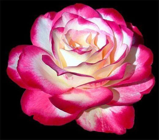 Fantastic Ombre Pink Rose Flower Seeds *100 Seeds Per Package* Balcony Potted Flowers Garden Plants For Sale