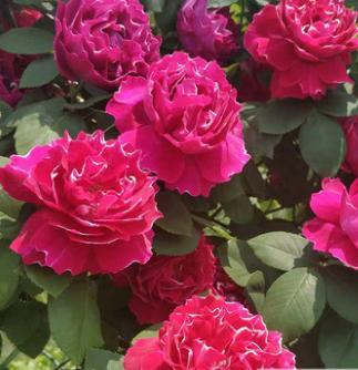Rose seedlings of Climbing Rose Blossom in big flowers Luzhou-flavor Courtyard Vine Flowers Plant Balcony Potted Roses Blossom in Four Seaso