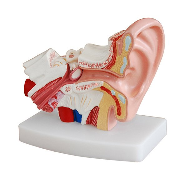 Compre 1 5x Ampliado Orelha Humana Anatomia Modelo Orelha Modelo Anatômico Para Aparelhos Auditivos Clínica Cuidados Com Os Ouvidos Ensinar De