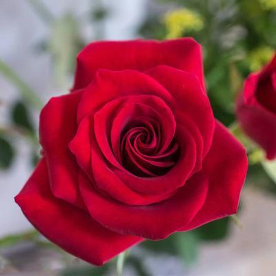 Semilla de rosa roja