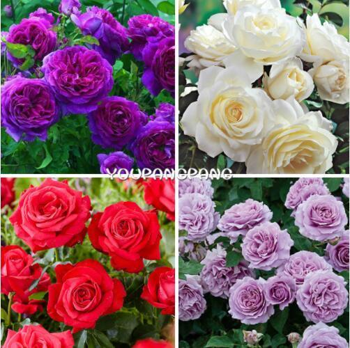 Rare Color Exotic Bonsai 50 Pz Rosa Semi di fiori Arcobaleno Rose Fiori Pianta Piantine Perenni Giardino semi Bonsai Jardim Plante