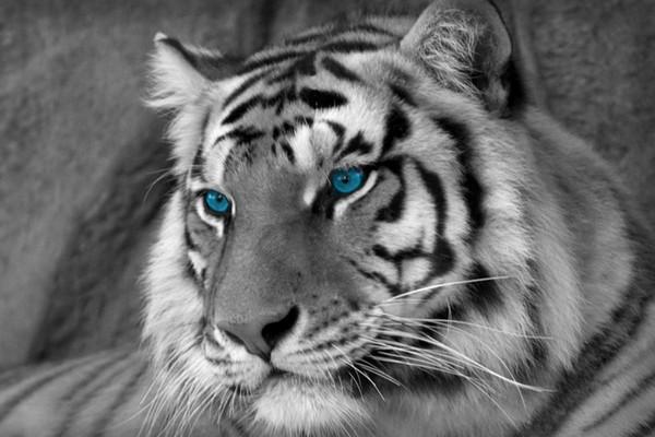 Black & White Bengal Tiger with Blue Eyes (Wild Animals) Art Silk Print Poster 24x36inch(60x90cm) 016