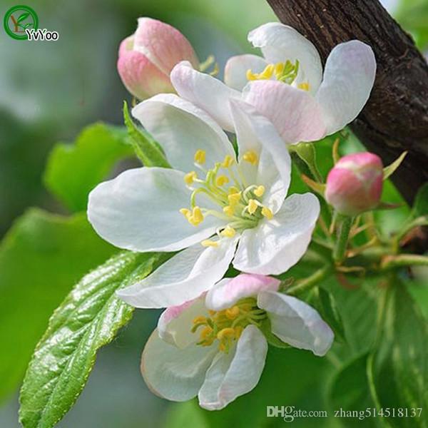 30 graines / paquet Malus Spectabilis Graines Begonia Graines de fleurs Facile à plantes en pot Balcon Jardin Décoration Bonsai Graines de fleurs