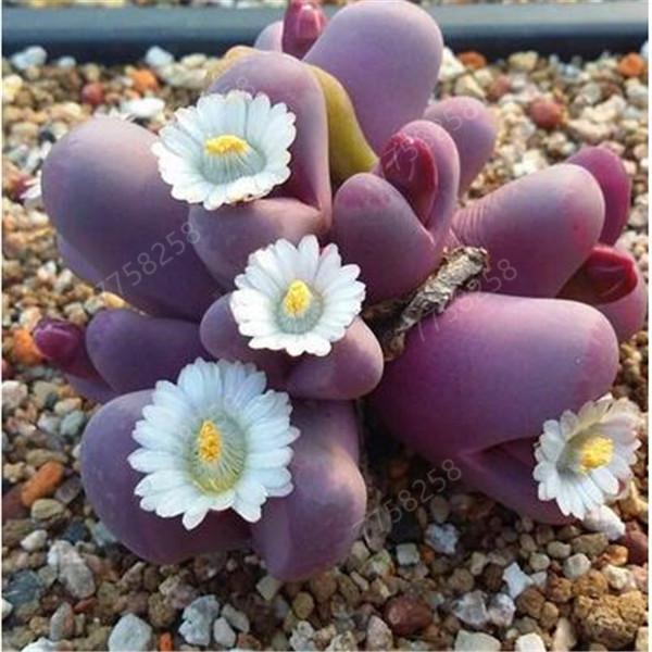 200 PC semillas Lithops flores semillas de piedra bonsai flores de plantas de interior carnoso bonsai planta de cactus semilla suculenta