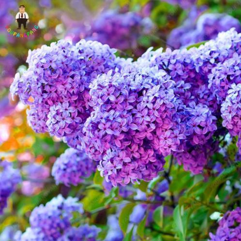 50pcs / embalar Hydrangea sementes flor Hydrangea bonsai bela flor vasos de plantas de interiores ou exteriores para o plantio da horta