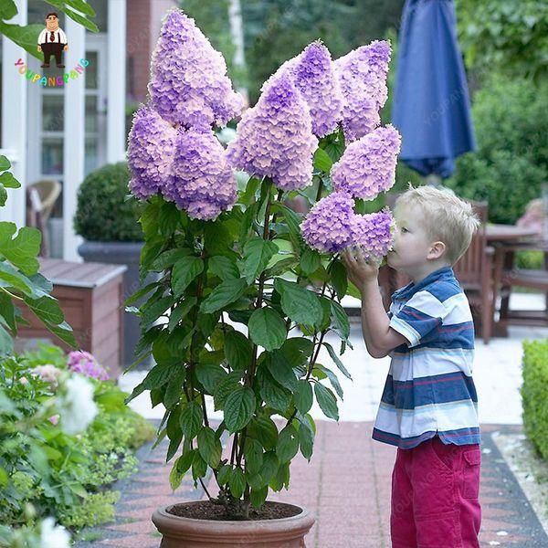 30 Pcs Bonsaï Mixte Hydrangea graines Paniculata Vanille Fraise Fraise Hortensia Bonsai Fleur graines Plante Grimpante Pour La Maison Jardin