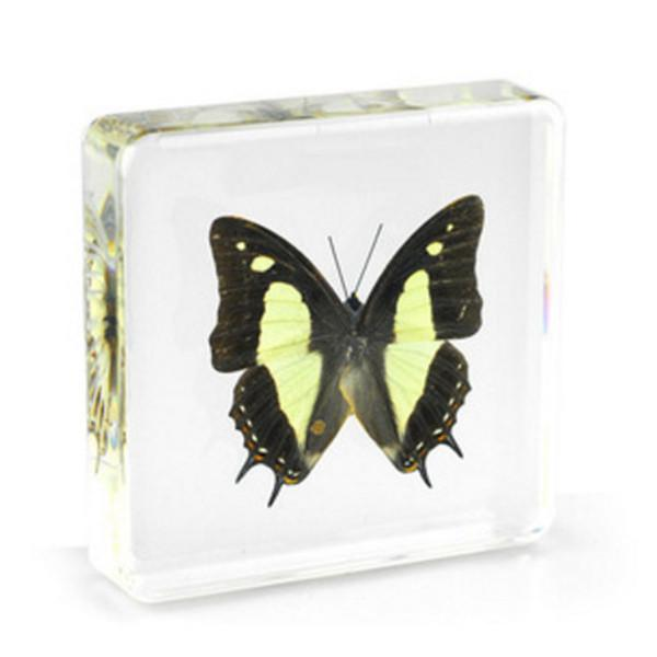 top popular Common Nawab Specimen Acrylic Resin Embedded Butterfly Paperweight Toys&Gifts Transparent Mouse New Type Kid Learning&Education Science Kits 2021