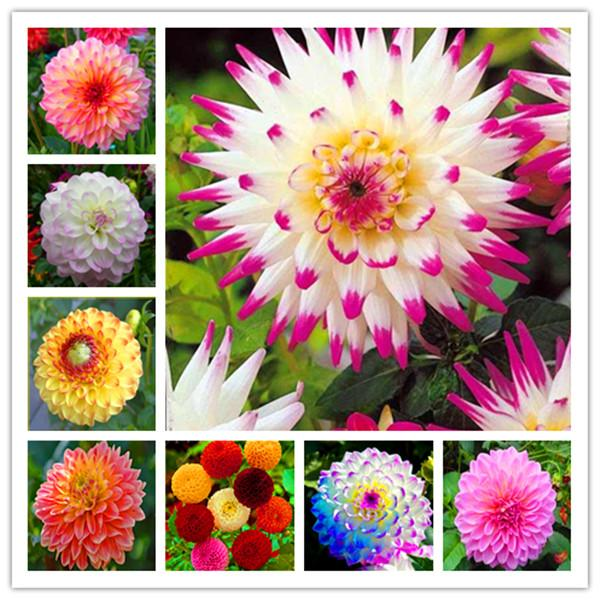 10pcs Dahlia Flower Jardin Charming Outdoor /& Indoor Bonsai Dahlia Plant seed