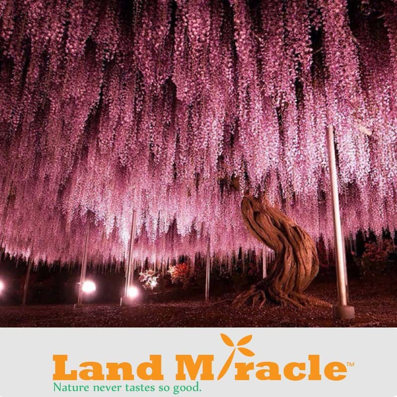 20seeds pack, 9.99 USD Perennial Climbing Shrub Chinese Wisteria seed Bosai Wisteria Sinensis New Seeds Land Miracle LMW006