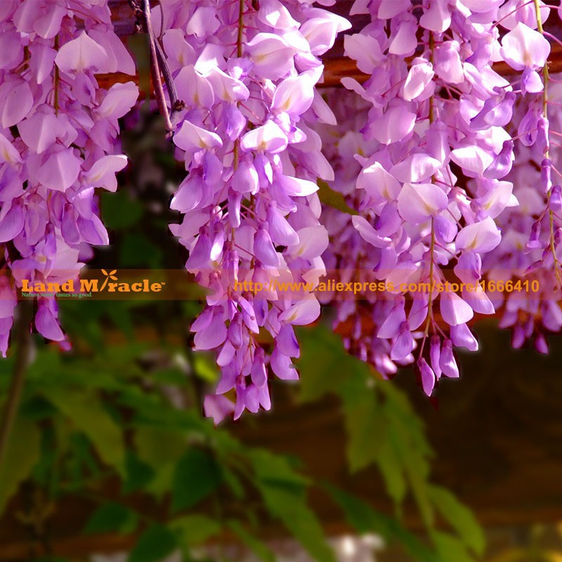 20seeds pack, 9.99 USD Perennial Climbing Shrub Chinese Wisteria seed Bosai Wisteria Sinensis New Seeds Land Miracle LMW006-4