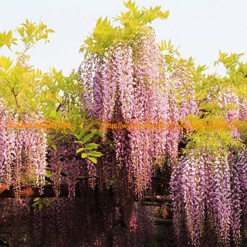 20seeds pack, 9.99 USD Perennial Climbing Shrub Chinese Wisteria seed Bosai Wisteria Sinensis New Seeds Land Miracle LMW006-1