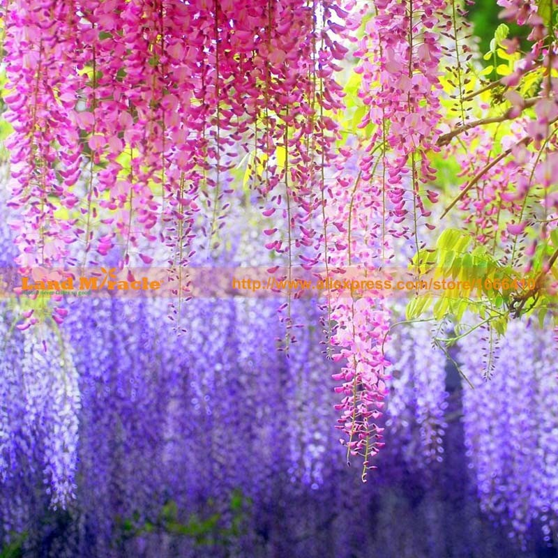 20seeds pack, 9.99 USD Perennial Climbing Shrub Chinese Wisteria seed Bosai Wisteria Sinensis New Seeds Land Miracle LMW006-7