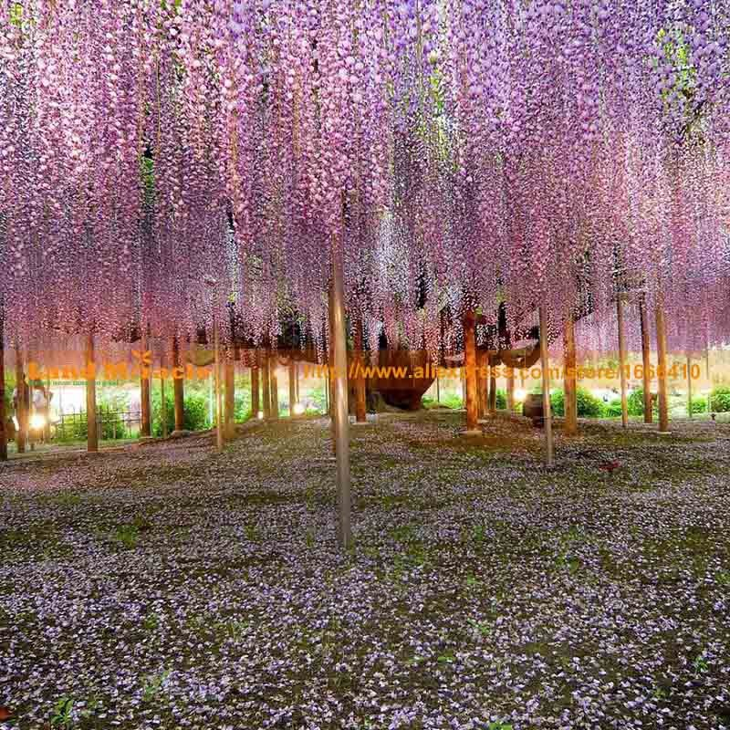 20seeds pack, 9.99 USD Perennial Climbing Shrub Chinese Wisteria seed Bosai Wisteria Sinensis New Seeds Land Miracle LMW006-2