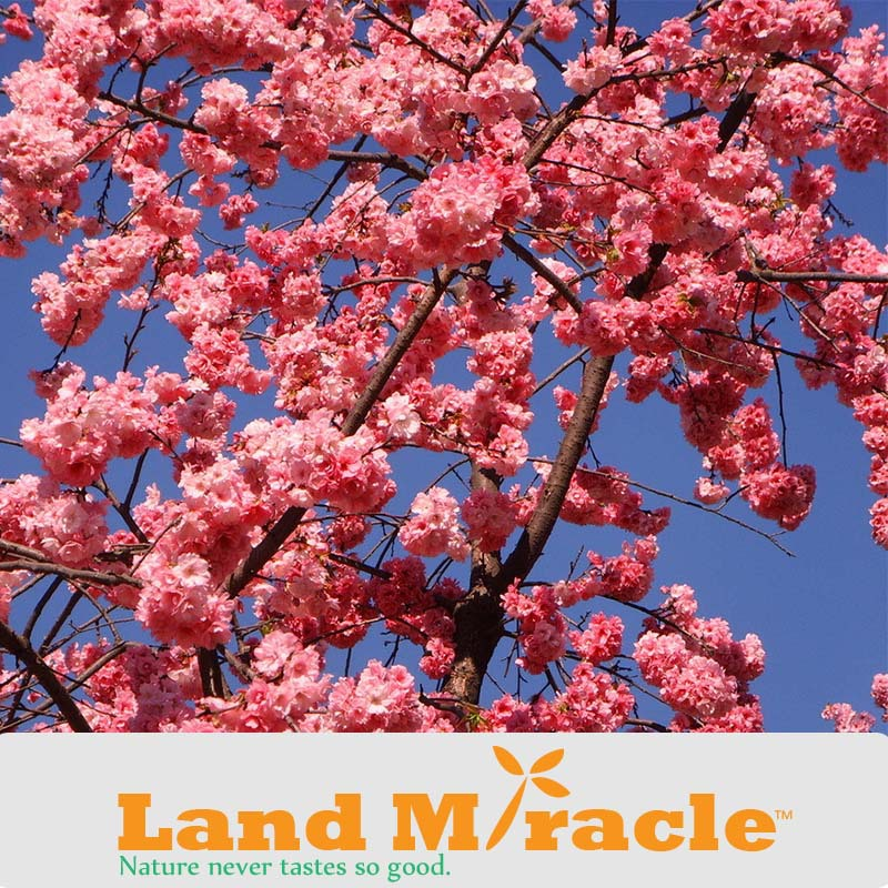 1 Professional Pack, 10seeds Pack , Japanese cherry blossom Sakura seed oriental cherry Bosai Flower Seed Land Miracle TOP12.jpg