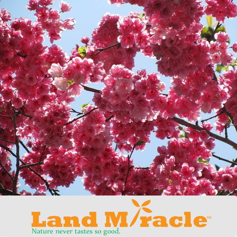 1 Professional Pack, 10seeds Pack , Japanese cherry blossom Sakura seed oriental cherry Bosai Flower Seed Land Miracle TOP15-1.jpg
