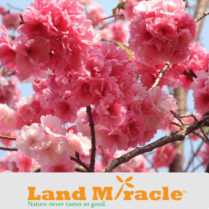 1 Professional Pack, 10seeds Pack , Japanese cherry blossom Sakura seed oriental cherry Bosai Flower Seed Land Miracle TOP12-1.jpg