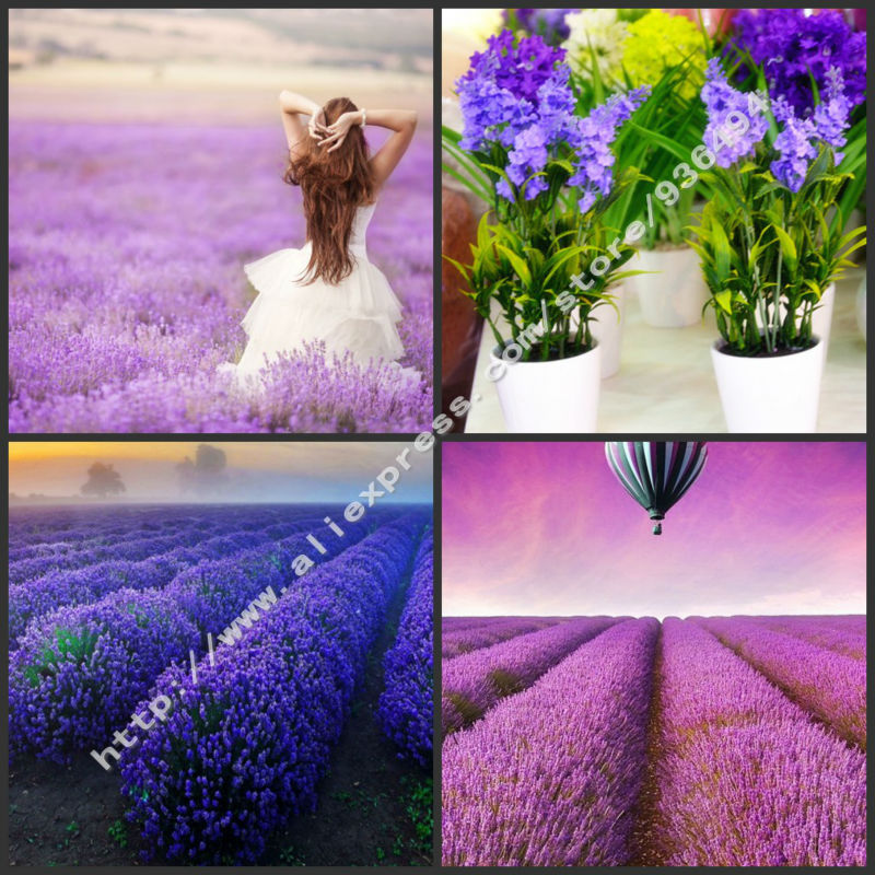 expensive plant 200 pc french lavender seeds very fragrant flower seed beautiful bonsai - French Lavender