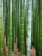 Огромные 2000 + семена Гигантские Phyllostachys pubescens moso bamboo seed hardy -4 Giant
