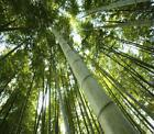 Wholesale - Huge 1000+seeds Giant Phyllostachys pubescens moso bamboo seeds hardy -4 Giant