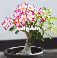 Wholesale Rose Can Absorption of formaldehyde Colorful Bonsai Desert Rose Flower Seeds Mix Seeds