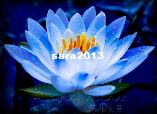 Acheter LIVRAISON GRATUITE 20 GRAINES Graines De Fleurs De Lotus Bleu Fée  Plantes Aquatiques Magnifiques Label Lotus12 De $15.39 Du Sara2013