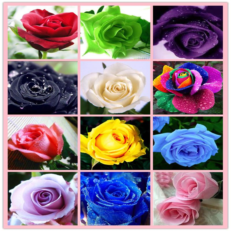 Hot sale rose seeds rainbow purple red black white pink for Green colour rose images
