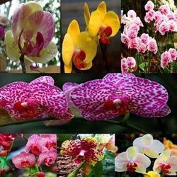 vasi di piante all'ingrosso 100 pz * farfalla orchidea fiore phalaenopsis bonsai semi di piante da fiore * piante bonsai albero spedizione gratuita da