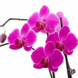 Sıcak satış 30 adet Bonsai balkon çiçek kelebek orkide, Güve Orkide tohumları renkli ücretsiz kargo