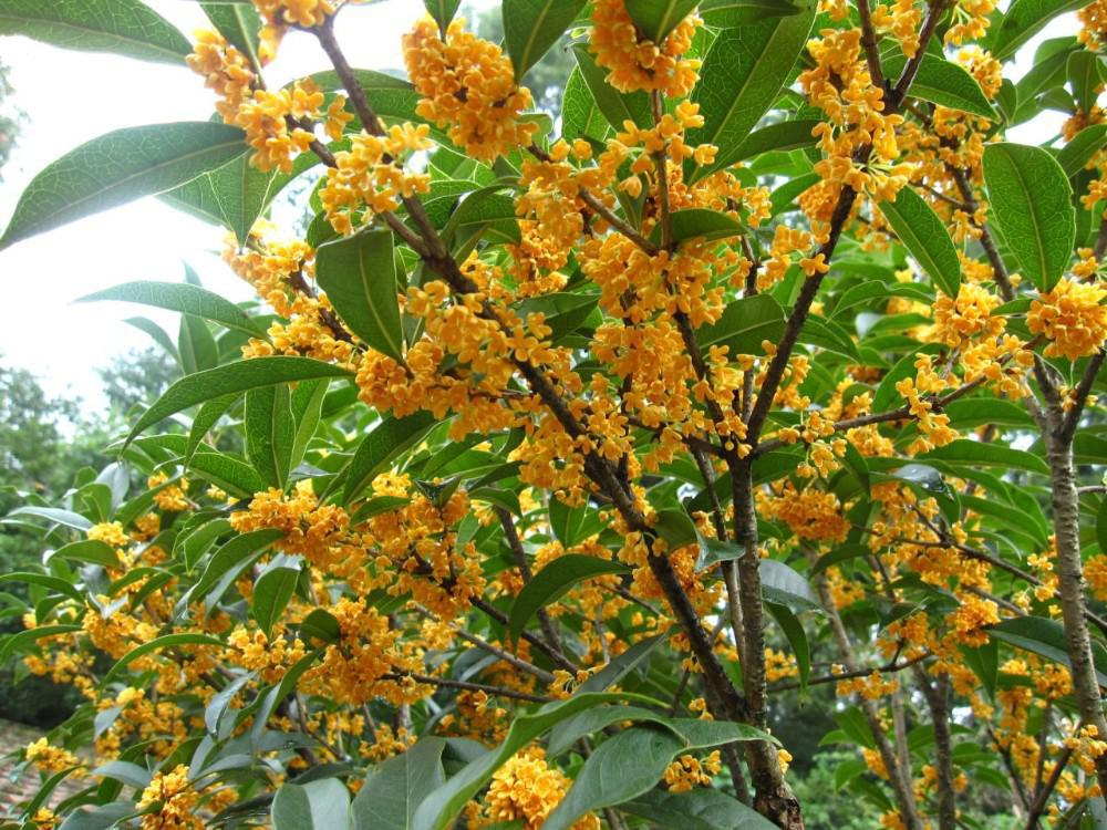2017 bag hot selling sweet scented osmanthus seed for diy - Does olive garden deliver to your house ...