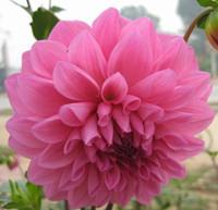 ingrosso piantagione dahlia-60 pz / borsa Dalie Semi per Giardino di Casa All'ingrosso Bellissimi Giardini Dahlia pinnata Semi di Piante Bonsai Semi di Fiori Perenni