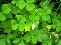 Wholesale Clover Garden - Free shipping Fine pot four-leaf clover seeds bonsai garden plantes