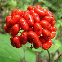 Wholesale Chinese Herbs Free Shipping - Wholesale - Hardy Chinese   korea panax ginseng seeds Wild ginseng seeds 100+ seeds Free shipping